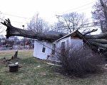 Cohasset地區遭受強風襲擊,導致Beechwood街一棵大樹被颳倒,並砸垮一家庭車庫。(Cohasset警方提供)