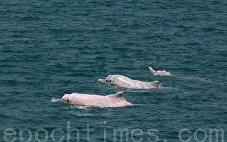 台灣白海豚在西岸生活範圍狹窄,只能在苗栗至台南河口170公里上下洄游,離岸3公里、水深不到30公尺處生活。(游忠霖/大紀元)