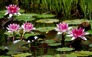 盛开的睡莲池(Fotolia)