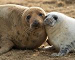 2016年冬季在劳斯市多纳努克自然保护区降生的灰海豹幼崽。(Dan Kitwood/Getty Images)