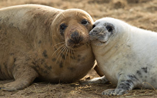 2016年冬季在勞斯市多納努克自然保護區降生的灰海豹幼崽。(Dan Kitwood/Getty Images)