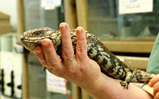 近20年來,澳大利亞西澳州珀斯地區的藍舌短尾蜥蜴常因為流感而慢慢餓死,肯亞納動物醫院的獨特療程治愈率達8成。最近,他們與默多克大學一起發現了導致蜥蜴流感的新型病毒。(Brendon Fallon/大紀元)