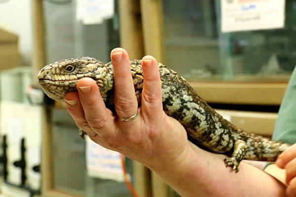 肆虐澳洲特有蜥蜴廿年  流感病毒终被发现