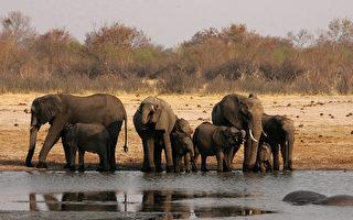 津巴布韦总统夫人格蕾丝送给中共35只野生小象,用来偿还欠中共的军备债务。图为津巴布韦万基国家公园内一群大象。(JEKESAI NJIKIZANA/AFP/Getty Images)