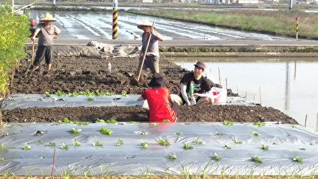 为了更加了解小农辛劳林胤宏(右1)亲自下田种菜。(陈建霖/大纪元)