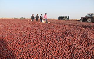 红枣晾晒中。(宇海国际提供)