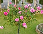 整叢的樹玫瑰。(李芳如/大紀元)