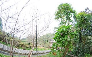 治疟疾良药——金鸡纳树 从南美飘洋来台的故事
