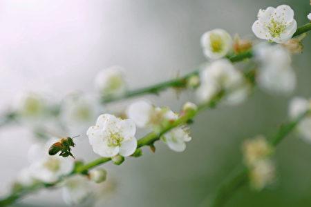 梅岭梅花大盛开,蜜蜂采蜜忙翻了。(赖友容/大纪元)