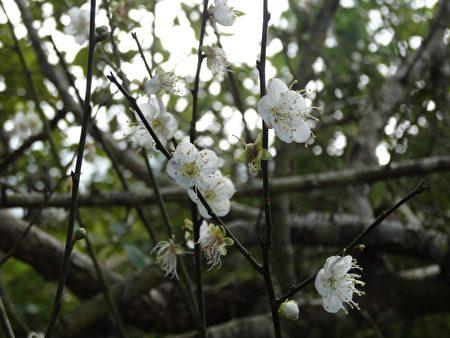 梅岭的梅花仅零星绽放。(曾晏均/大纪元)
