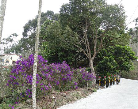 梅峰古道两旁的紫牡丹正花开灿烂。(曾晏均/大纪元)