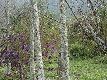 梅花尚未盛开,步道旁紫牡丹已花开灿烂。(曾晏均/大纪元)