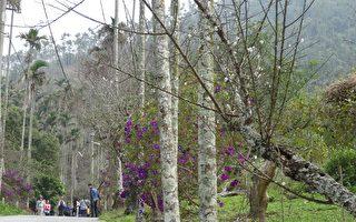 梅花含苞盼冷風 梅嶺紫牡丹獨自燦爛