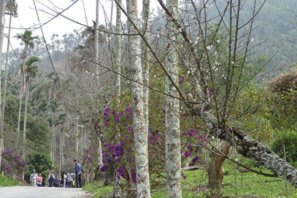 步道两侧只有少许早开的梅花绽放迎宾,光秃的枝桠上许多未开花的花苞,正等待着冷冽冬风来催促开花。(曾晏均/大纪元)