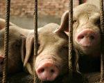 中共本月派出五百萬官員到全國各地的村莊和農場,調查豬牛雞鴨的數量。 (PETER PARKS/AFP/Getty Images)