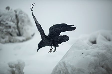 A raven hops along the tops of growing snow piles in Mammoth Lakes, California, January 9, 2017 as a series of strong storms moves through California. / AFP / DAVID MCNEW (Photo credit should read DAVID MCNEW/AFP/Getty Images)