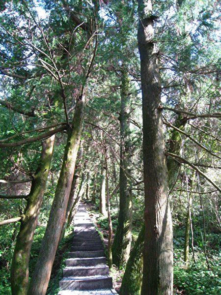 台湾阳明山冷擎步道的柳杉林碎石阶梯(摄影/张扬)