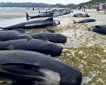 2月10日,几百头领航鲸(pilot whale)在新西兰的海滩搁浅后死亡,这是新西兰历史上三次最大规模鲸鱼搁浅死亡  事件之一。( AFP PHOTO / New Zealand Department of Conservation)