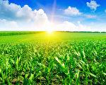 绿色麦田美丽的日出(fotolia)