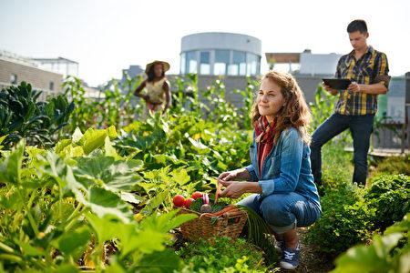 收获从屋顶温室庭院的新鲜蔬菜的友好的队和计划在一种数字式片剂的收获季节