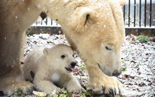 法国动物园北极熊宝宝亮相,可爱模样受关注。(SEBASTIEN BOZON/AFP)