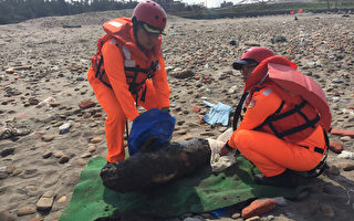 一隻長約1公尺的稀有「江豚」,15日被海岸巡防署北部地區巡防局第二三岸巡大隊人員發現,擱淺於海岸旁,並已死亡多時。專家表示,江豚被列為瀕臨絕種野生動物,死因仍待釐清。(海巡署提供)