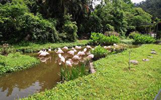 H5N6禽流感疫情擴大,已有6縣市淪陷,北市動物園加強防疫、宣導,暫時停止家禽的戶外活動,降低其被意外感染風險。(北市動物園提供)