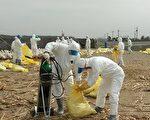 布袋鹅场疑似禽流感,家畜所进行预防性扑杀。(嘉义县政府提供)