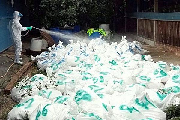 台灣嘉義縣民雄鄉一處火雞場通報火雞異常死亡,嘉義縣家畜所採樣送驗、移動管制,因鄰近縣市火雞疑有感染禽流感疫情,採預防性撲殺,26日撲殺498隻火雞。(嘉義縣政府提供)