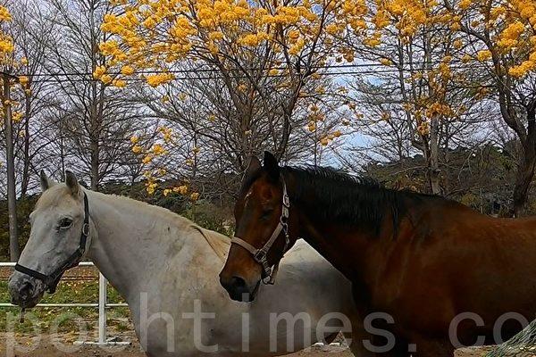 高雄市馬術協會橋頭馬術中心3、4月風鈴木盛開,襯托駿馬,讓人彷彿置身歐洲。(李怡欣/大紀元)
