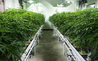澳州卫生部批准进口医用大麻 弥补市场不足