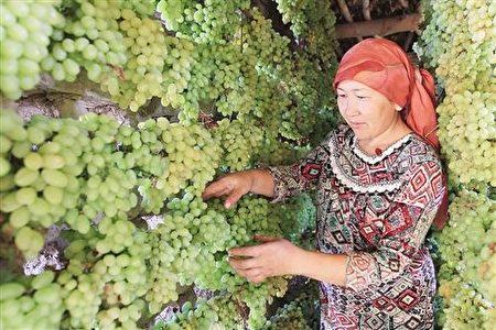 来自新疆吐鲁番,无喷洒农药的绿葡萄。(宇海国际提供)