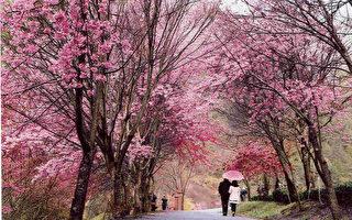 台武陵樱花季明登场 赏樱专车有空位