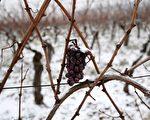 《法国葡萄酒杂志》(La Revue du Vin de France)报导说,在过去的一年,国际盛产葡萄酒的地区均受暴风雨天气的影响,其中法国和拉丁美洲表现最为显著。(PATRICK HERTZOG/AFP/Getty Images)