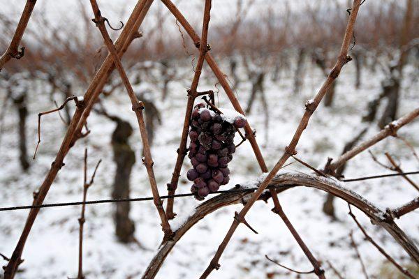 《法國葡萄酒雜誌》(La Revue du Vin de France)報導說,在過去的一年,國際盛產葡萄酒的地區均受暴風雨天氣的影響,其中法國和拉丁美洲表現最為顯著。(PATRICK HERTZOG/AFP/Getty Images)
