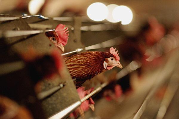 隨著H7N9病毒一月份造成79人死亡,192人感染,中國可能將面臨百年來最嚴重的一波禽流感襲擊。(Jamie McDonald/Getty Images)