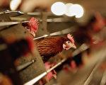動物健康專家說,中國家禽養殖場的禽流感感染率可能遠遠高於先前所認為的,因為導致今年冬天100人死亡的致命病毒株H7N9很難在雞和鵝身上探測到。 (Jamie McDonald/Getty Images)