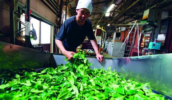 剛剛摘下來、準備殺青的新鮮綠茶葉子。(David Munns提供)