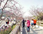 台中后里泰安樱花季开始,市府备有假日赏樱专车。(台中市政府提供)