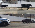 """周二,一头从屠宰场脱逃出来的公牛,在皇后区牙买加附近与市警上演""""狂野追逐""""剧码。 (Vladimir Vilsaint提供)"""