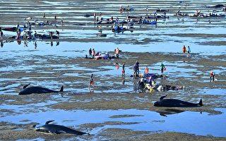 数百巨头鲸搁浅新西兰 救援紧张进行中
