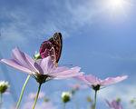 在雏菊的蝴蝶。清晰的天空(fotolia)