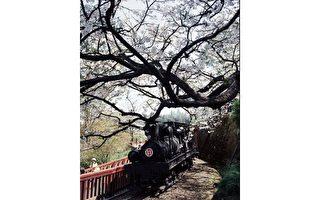 阿里山花季10日登場,阿里山森林鐵路於當天,及花季期間每週三,行駛蒸汽機車,讓遊客可以觀賞森鐵穿梭櫻花林的經典畫面。圖為去年畫面。(嘉義林管處提供)