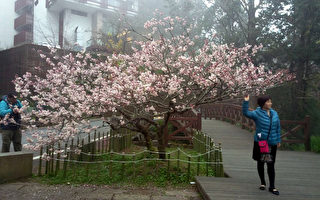 阿里山唐实樱正盛开  值得上山赏花
