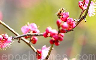组图:冬尽春来 韩国首尔清溪川梅花盛开