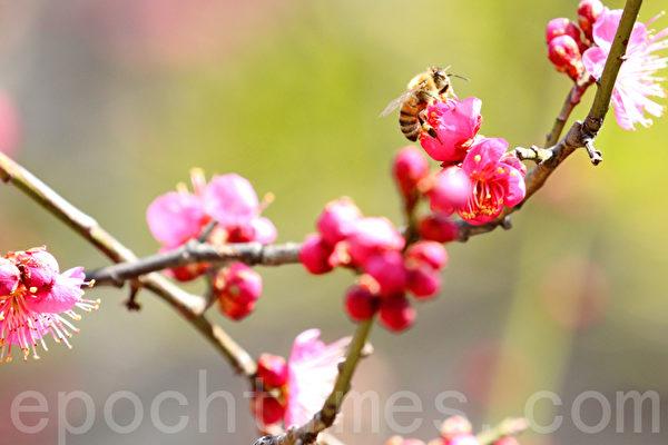 韩国首尔清溪川生态景观-河东梅花路(位于新踏站与龙踏站之间)一带3月初开始梅花绽放,清溪川充满春天气息。(全景林/大纪元)