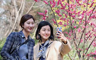 3月24日韓國首爾市景福宮等五大宮殿和清溪川等地春花開始綻放,到處洋溢著早春浪漫氣息。圖為首爾奉恩寺梅花開放。(全景林/大紀元)