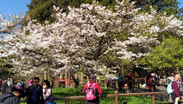 組圖:台灣阿里山「櫻王」盛開 遊客賞櫻拍照