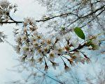 白色樱花不常见,在拉拉山上有近百株雾社樱已在开花啦。(桃园观旅局/提供)