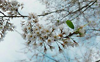 白色櫻花不常見,在拉拉山上有近百株霧社櫻已在開花啦。(桃園觀旅局/提供)